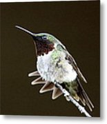 Hummingbird - Wide Tail Metal Print