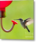 Hummingbird Drinking Metal Print