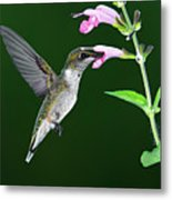 Hummingbird Feeding On Pink Salvia Metal Print