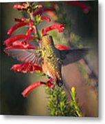 Hummingbird In Flight 1 Metal Print