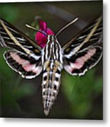 Hummingbird Moth - White-lined Sphinx Moth Metal Print