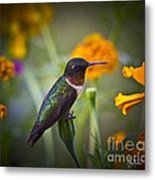 Hummingbird On Guard - Artist Cris Hayes Metal Print
