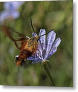 Hummingbird Or Clearwing Moth Din137 Metal Print