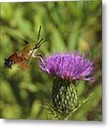 Hummingbird Or Clearwing Moth Din141 Metal Print