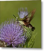Hummingbird Or Clearwing Moth Din178 Metal Print