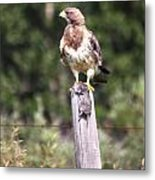 Hungry Hawk Metal Print
