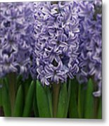 Hyacinth Hyacinthus Sp Skyline Variety Metal Print