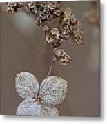 Hydrangea Arborescens Dry Flower Head In Winter Metal Print