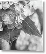 Hydrangeas In Black And White Metal Print