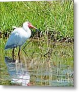 Ibis Looks Up Metal Print by Lynda Dawson-Youngclaus