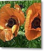 Iceland Poppies Metal Print