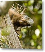 Iguana In Tree Metal Print
