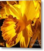 Illuminated Daffodil Photograph Metal Print