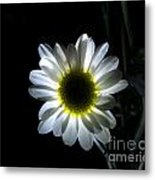 Illuminated Daisy Photograph Metal Print