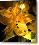 Illuminated Yellow Alstromeria Photograph Metal Print