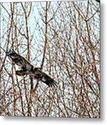 Immature Bald Eagle Flying Metal Print