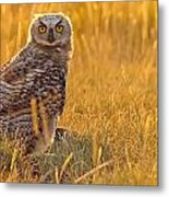 Immature Great Horned Owl Backlit Metal Print