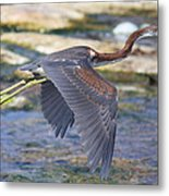 Immature Tricolored Heron Flying Metal Print