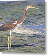 Immature Tricolored Heron Standing At High Tide Metal Print