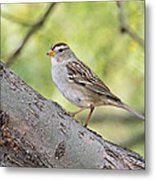 Immature White-crowned Sparrow  Metal Print