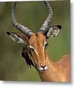 Impala Aepyceros Melampus Buck Africa Metal Print