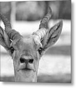 Impala -black And White Metal Print