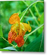 Impatiens Capensis - Orange Spotted Jewelweed Metal Print