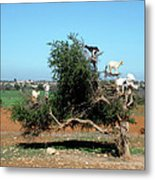 In Morocco Goats Grow On Trees Metal Print