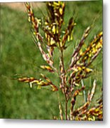 Indian Grass Seed Metal Print