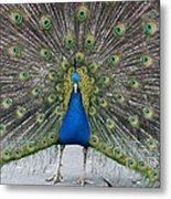 Indian Peacock Metal Print