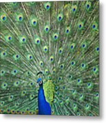 Indian Peafowl Pavo Cristatus Male Metal Print