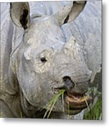 Indian Rhinoceros Grazing Kaziranga Metal Print