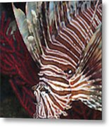 Indonesian Lionfish On A Wreck Site Metal Print