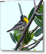 Inquisitive Yellow Throated Warbler Metal Print