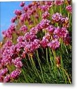 Ireland Close-up Of Seapink Wildflowers Metal Print