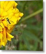 Iridescent Fly On Marygold Metal Print