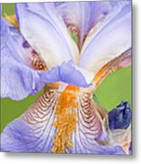 Iris Full Bloom Metal Print