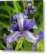 Iris In The Summer Morning Metal Print