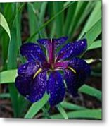 Iris With Rain Drops Metal Print