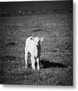 Irish Lone Calf In A Field Metal Print