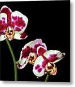 Isolated Orchids Metal Print