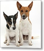 Jack Russell Terrier Dog, Rockie Metal Print