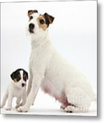 Jack Russell Terrier Mother And Puppy Metal Print
