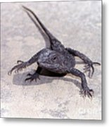 Jacky Lizard  Metal Print
