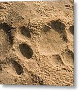 Jaguar Tracks Metal Print by Tony Camacho