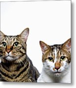 Japanese Cat And Manx Cat On White Background, Close-up Metal Print