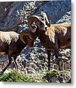 Jasper - Bighorn Sheep Metal Print