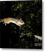 Jumping Chipmunk Metal Print