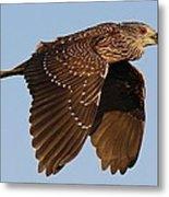 Juvenile Black Crowned Night Heron In Flight Metal Print