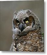 Juvenile Great Horned Owl Metal Print